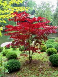 érable du japon acer palmatum