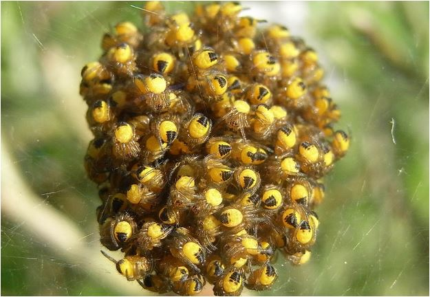 bebe araignée epeire nancybuzz