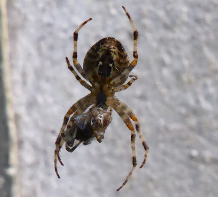 araignée epeire et sa proie