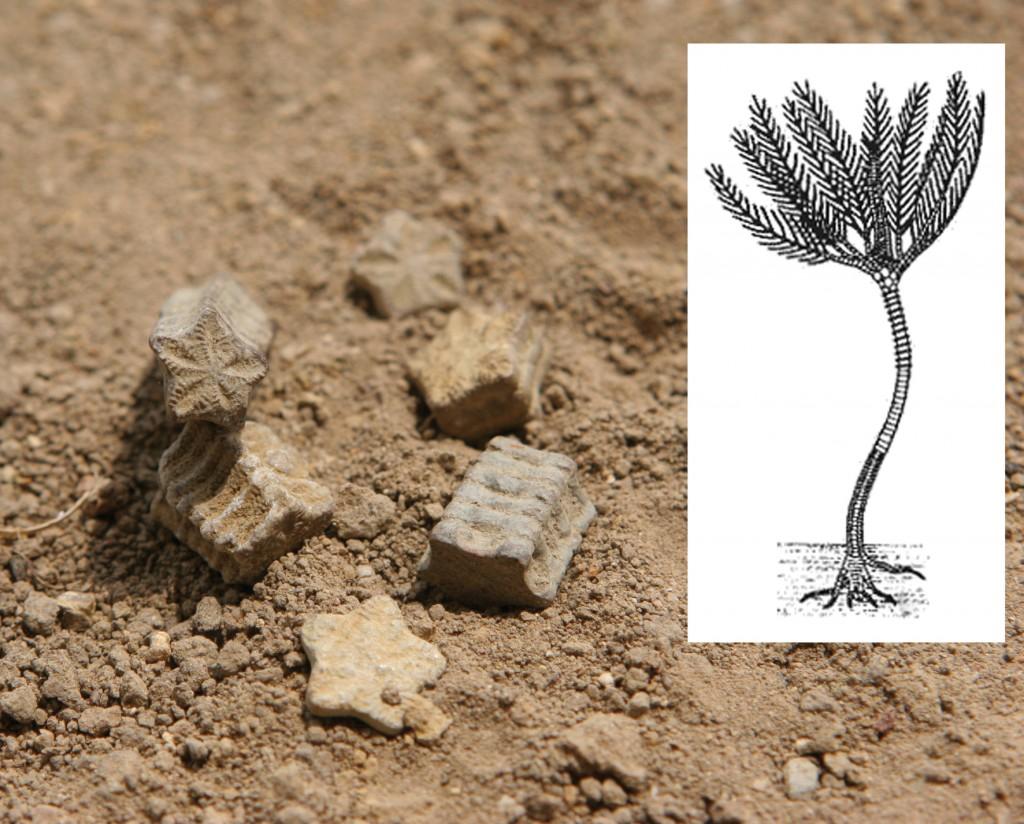 fossiles etoiles de sion