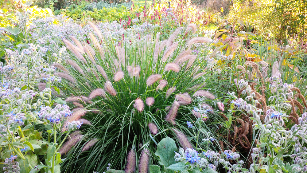 pennisetum-alopecuroIides-3 jardin adoue lay saint christophe