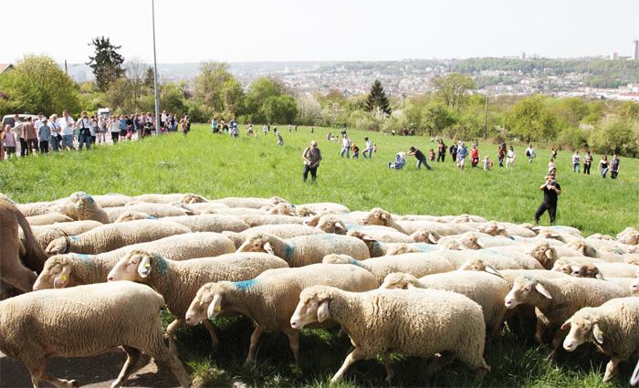moutons-plateau-malzeville